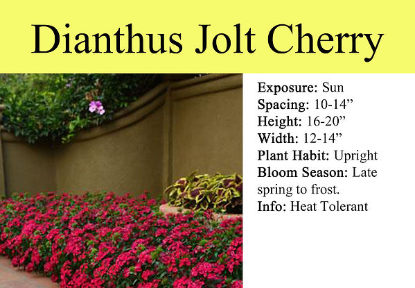 Dianthus Jolt Cherry.jpg