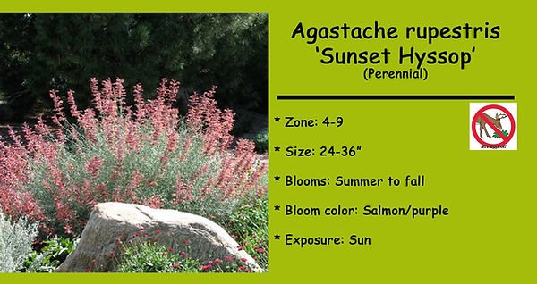 Agastache rupestris _Sunset Hyssop.jpg