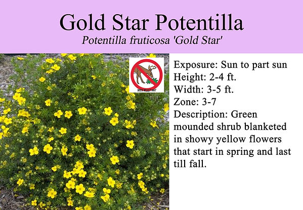 Potentilla fruticosa 'Gold Star', Goldst