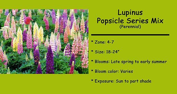 Lupinus Popsicle series mix.jpg
