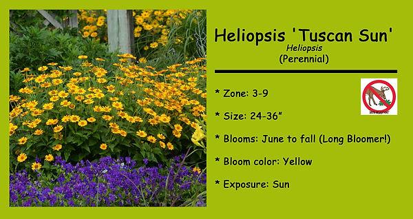 Heliopsis _Tuscan Sun_.jpg