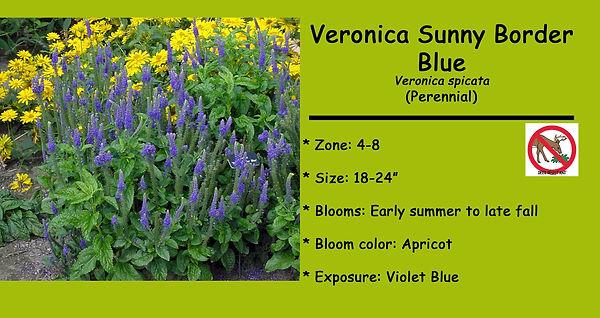 Veronica Sunny Border Blue.jpg