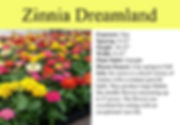 Zinnia Dreamland.jpg