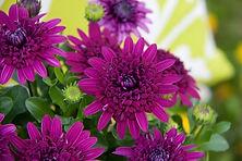 Osteospermum 4D Purple.jpg