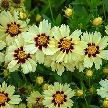 Coreopsis Uptick Cream Red.jpg