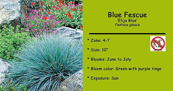 Festuca glauca Blue Fescue.jpg