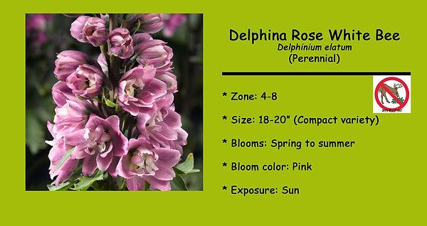 Delphinium delphina, Rose.jpg