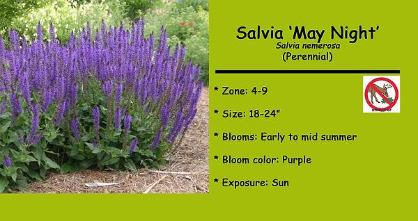 Salvia _May Night.jpg