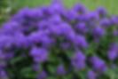 Campanula  glomerata Freya.webp