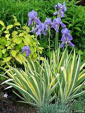 Iris pallida Aureo Variegata.jpg