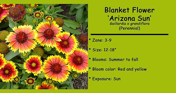 Gaillardia  Arizona Sun.jpg