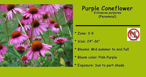 Echinacea purpurea Purple Coneflower.jpg