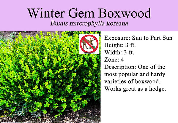 Buxus m. 'Winter Gem', Winter Gem Boxwoo