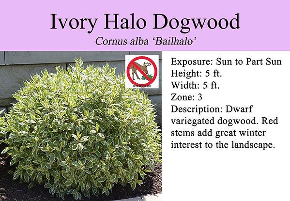 Cornus alba 'Bailhalo', Ivory Halo Dogwo
