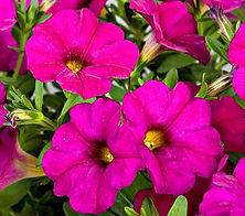 Petchoa Supercal Violet.jpg