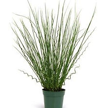 Juncus Fuseables Grass Twisted Arrow.jpg