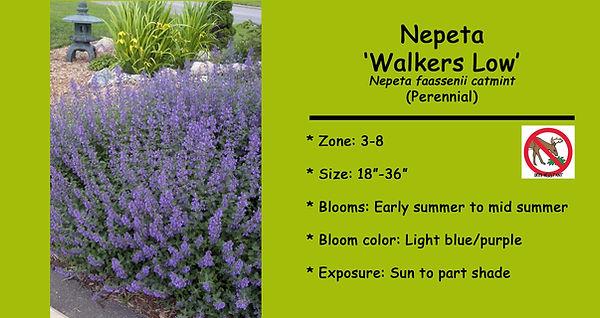 Nepeta Walkers Low.jpg