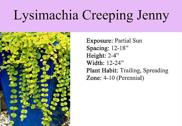 Lysimachia Creeping Jenny Green.jpg