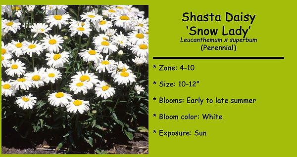 Leucanthemum Shasta Daisy _Snow Lady.jpg