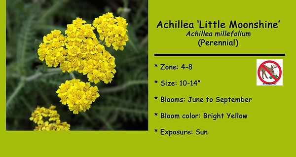 Achillea Little Moonshine.jpg