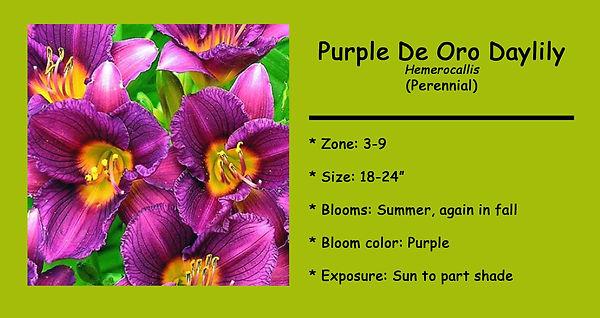 Hemerocallis Purple De Oro Daylily .jpg