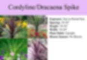 Cordyline_Dracaena Spikes.jpg