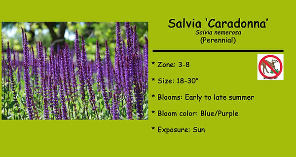 Salvia _Caradonna_  .jpg