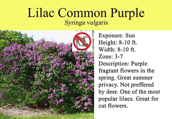 Syringa Lilac Common Purple.jpg