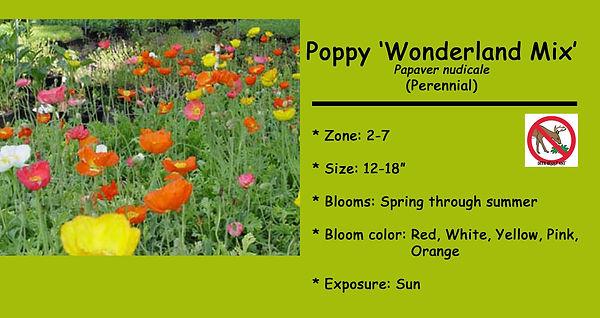 Papaver nudicale Wonderland Mix.jpg