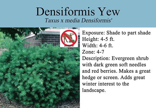 Taxus x media Densiformis', Densiformis