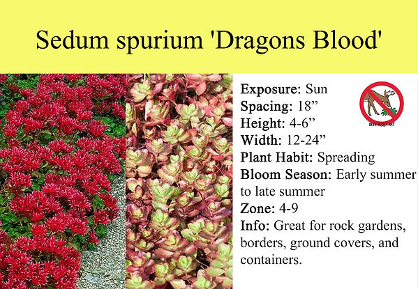 Sedum spurium 'Dragons Blood'.jpg