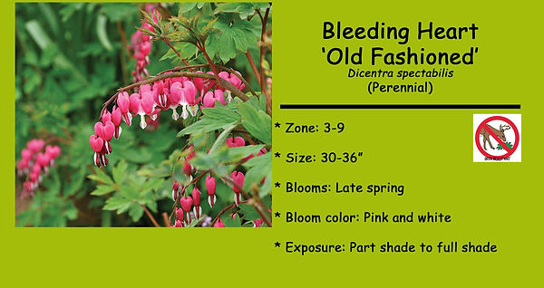 Dicentra spectabilis Old Fashioned Bleed