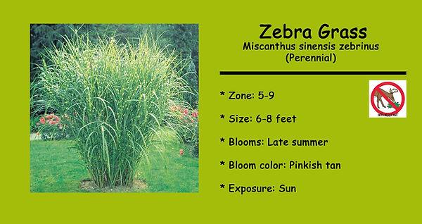 Miscanthus sinensis zebrinus, Zebra Gras