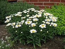 Leucanthemum Shasta Daisy _Snow Lady_.jp