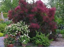 Cotinus coggygria 'Royal Purple', Royal
