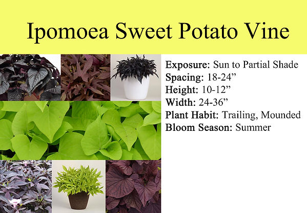 Ipomoea Sweet Potato Vine.jpg