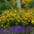 Heliopsis 'Tuscan Sun'.jpg