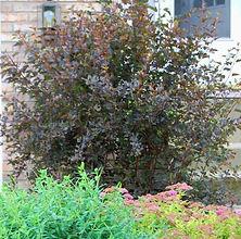 Physocarpus opulifolios 'Monlo' Diabolo