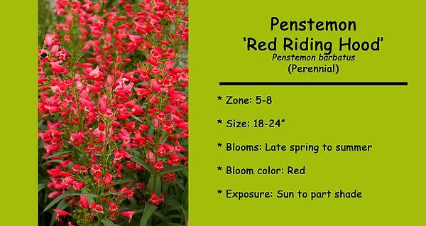 Penstemon barbatus Red Riding Hood.jpg