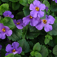 bacopa_gulliver_blue_plant_342_detail.jp