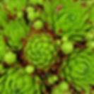 Sempervivum Hybridum Hens and Chicks.jpg