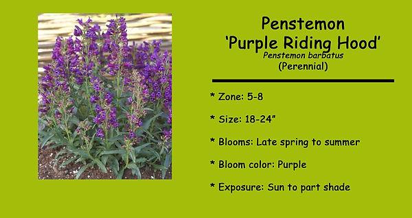 Penstemon barbatus Purple Riding Hood.jp