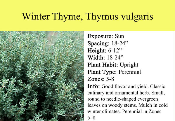 Thyme, Thymus vulgaris Garden Winter.jpg
