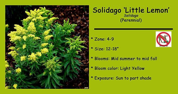 Solidago Little Lemon.jpg