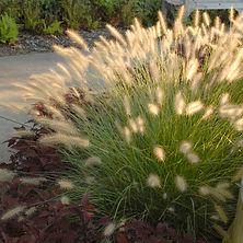 Pennisetum alopecuroides Hameln.jpg