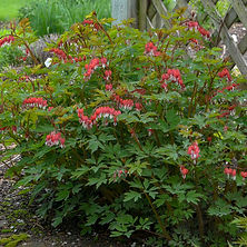 Dicentra spectabalis Old Fashioned Bleed