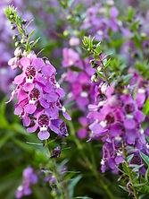 Angelonia Carita Purple.jpg