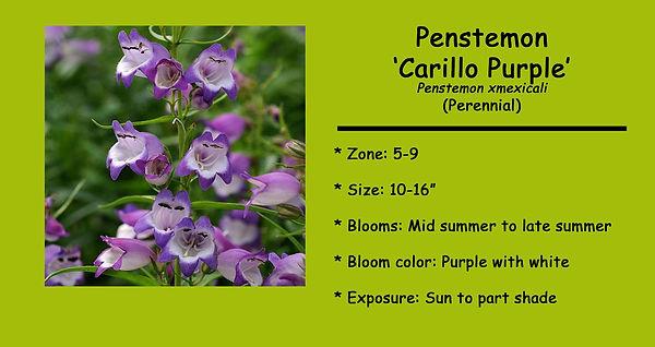 Penstemon xmexicali _Carillo Purple_.jpg
