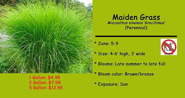 Miscanthus _Maiden Grass.jpg