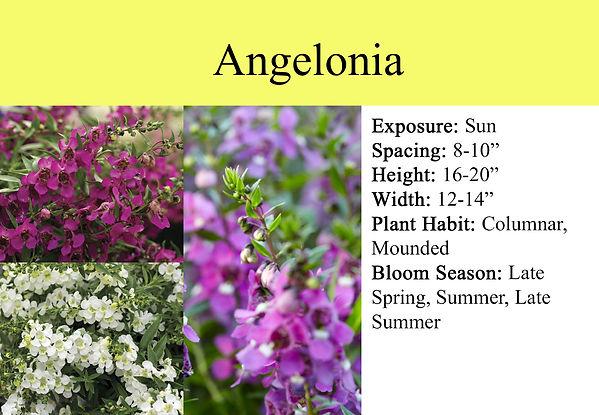 Angelonia.jpg